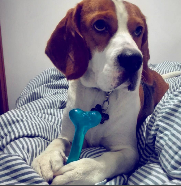 thomas-the-beagle