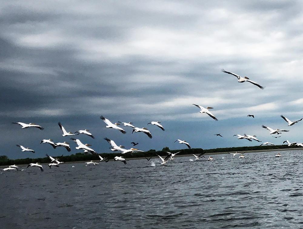pelicani in dunare